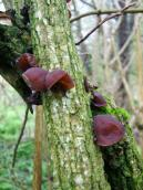 Jew's ear, wood ear, Auricularia…