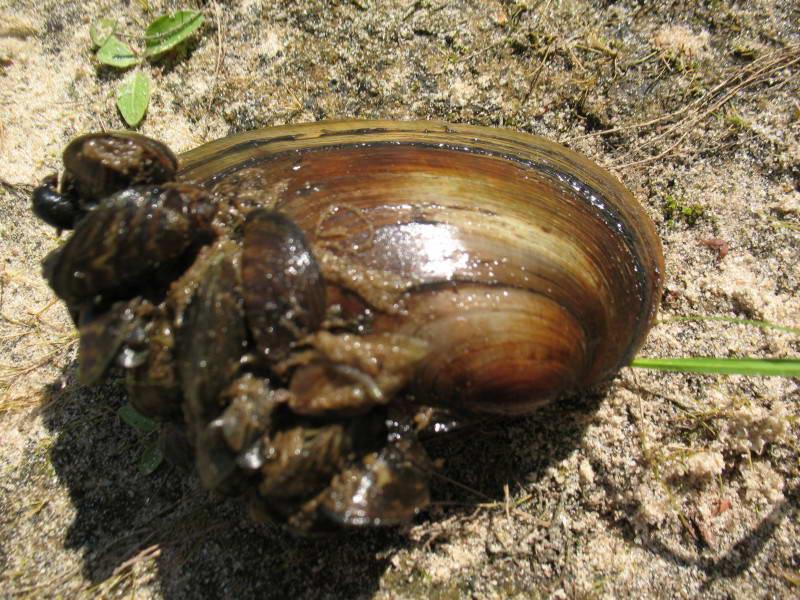 Беззубка обыкновенная Anadonta cygnea