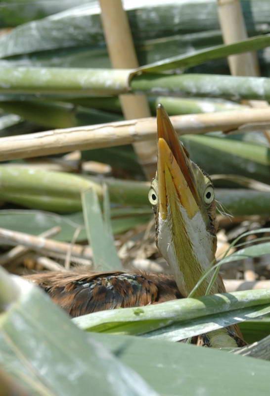 Руда чапля, Ardea purpurea, (Фото Атамась Н.)