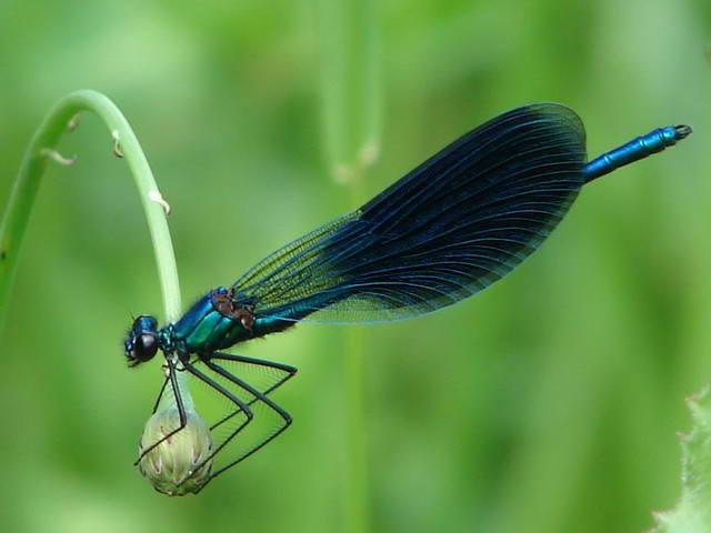 Красуня блискуча (Calopteryx splendens)