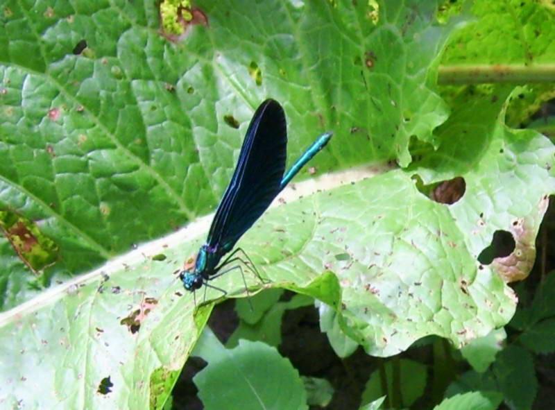 Красотка-девушка (Calyopterix virgo)