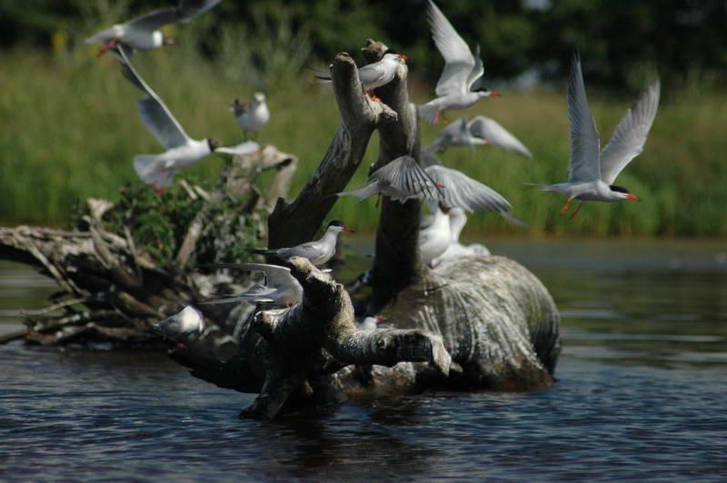 Крячок річковий, Sterna hirundo