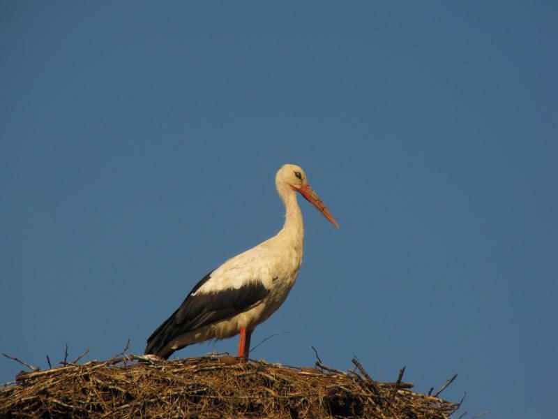 Белый аист, Ciconia ciconia