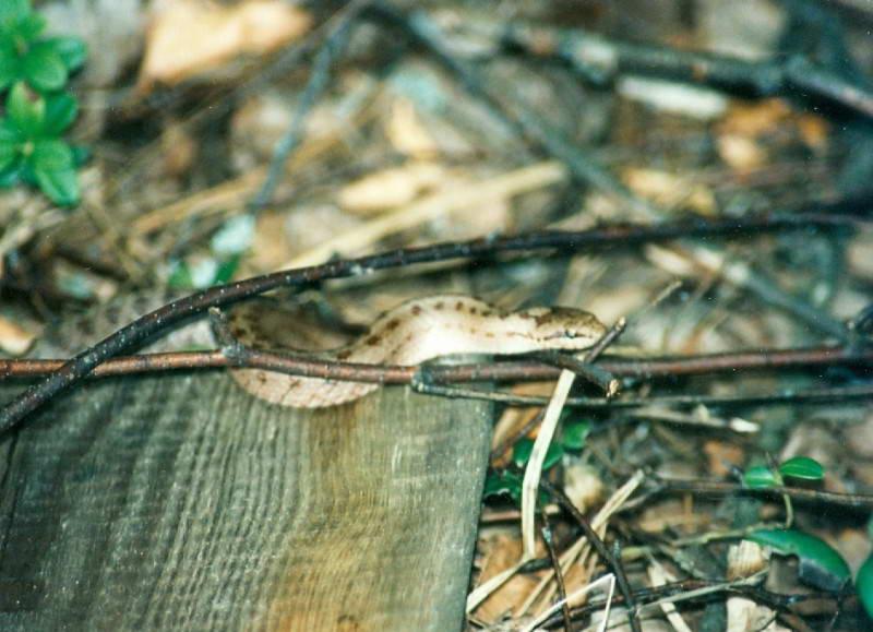 Мідянка, Coronella austrica, (Фото Атамась Н.)