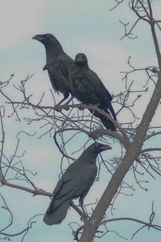 Ворон Corvus corax