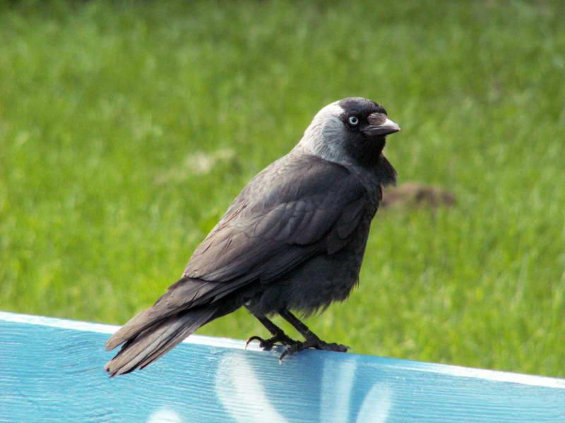 Галка, Corvus monedula