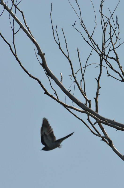 Cuckoo, Cuculis canorus
