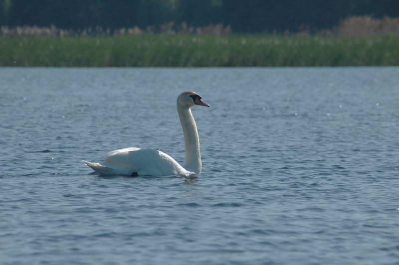 Лебедь-шипун, Cygnus olor