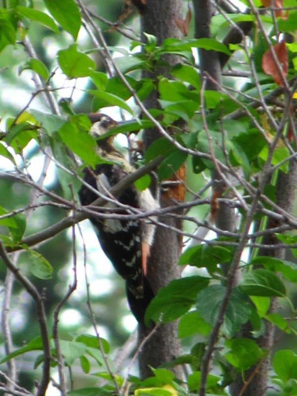 Spotted Woodpecker, Dendrocopos