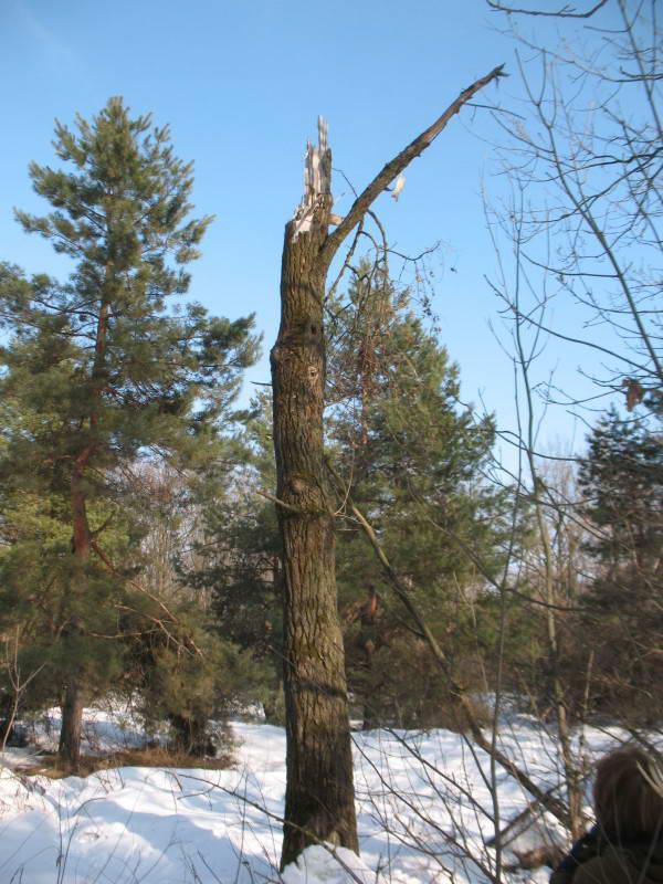 Дуплисте дерево