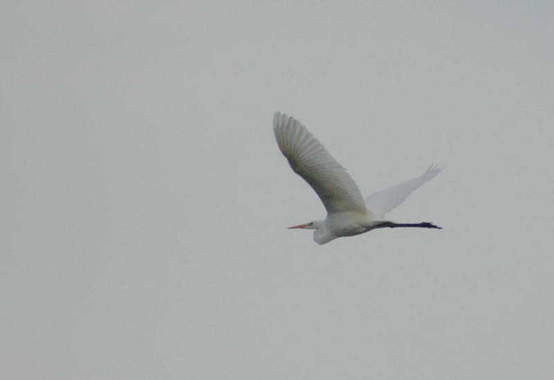 Great White Egret, Egretta alba
