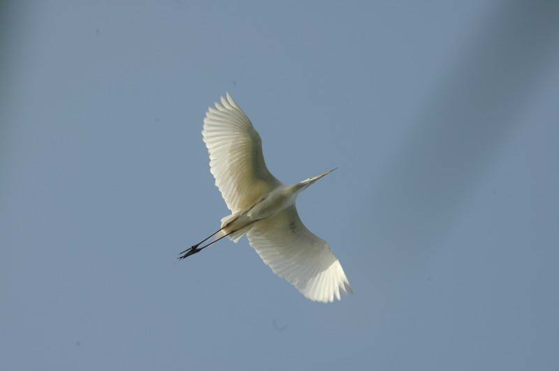 Great White Egret, Egretta alba