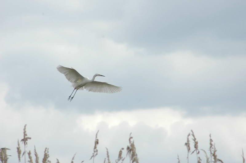 Большая белая цапля, Egretta alba