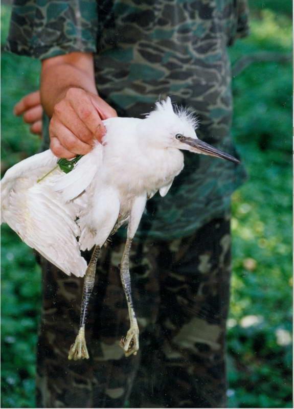 Велика біла чапля, Egretta alba