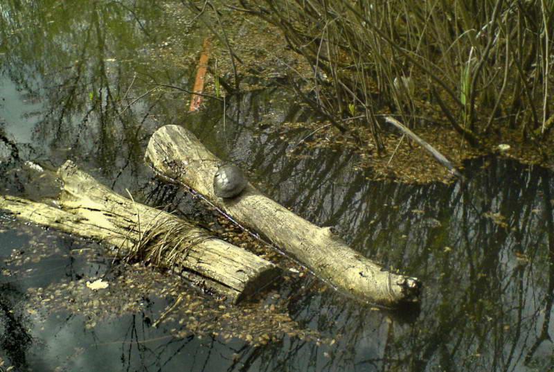 Болотяна черепаха, Emus orbicularis, острів Труханів, (Фото Некрасова О.)