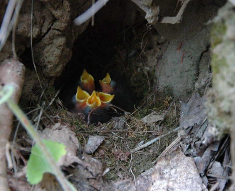 Малинівка, вільшанка, Erithacus rubecula