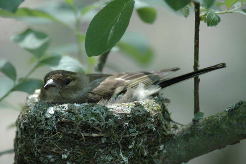 Зяблік, Fringilla coelebs, гніздо