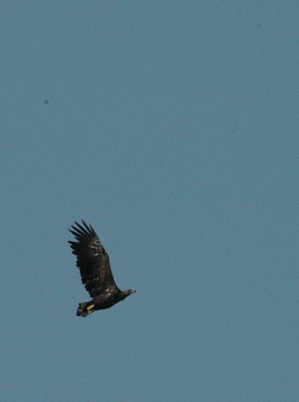 White-tailed sea eagle, Haliaeetus…