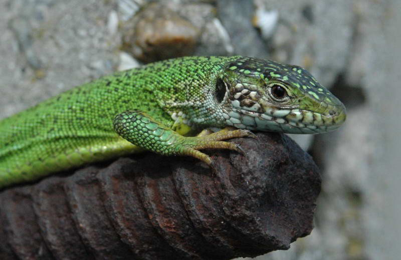 Green Lizard, Lacerta viridis, (Photo…
