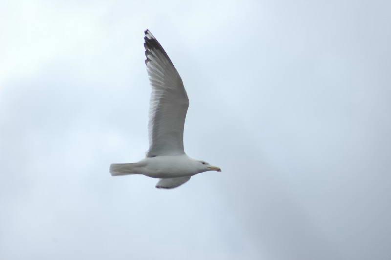 Серебристая чайка, Larus cachinnans
