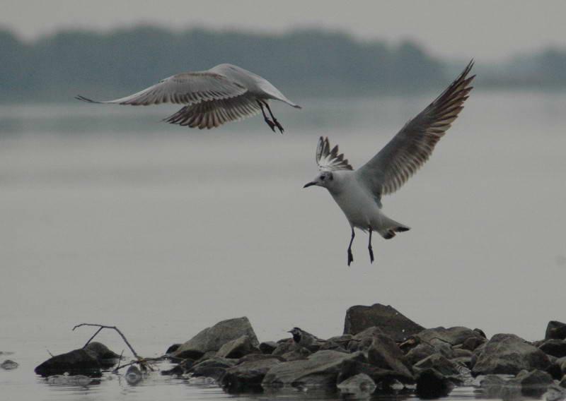 Речная чайка