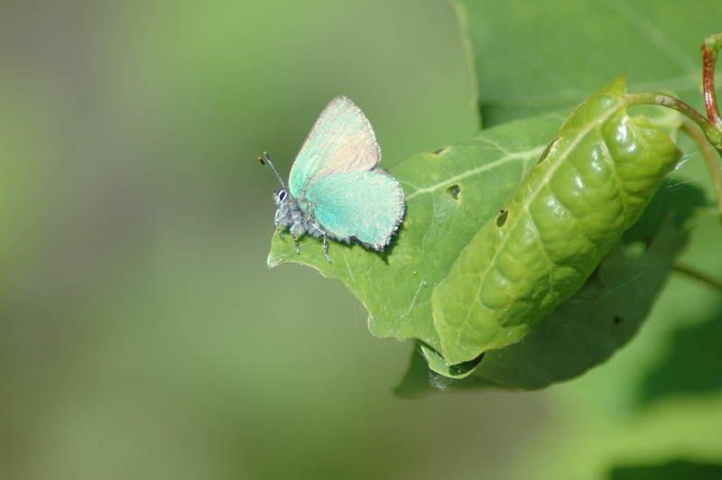 Метелик, Lepidoptera