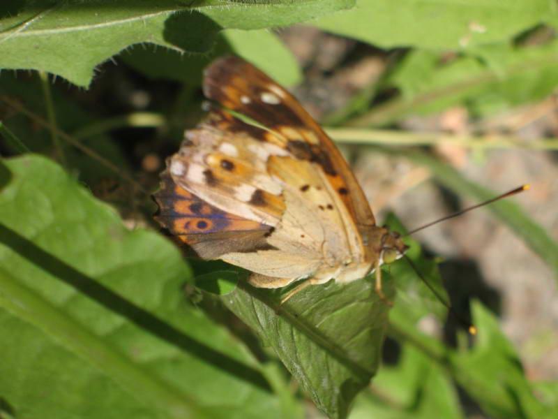 Переливниця тополева, Apatura ilia