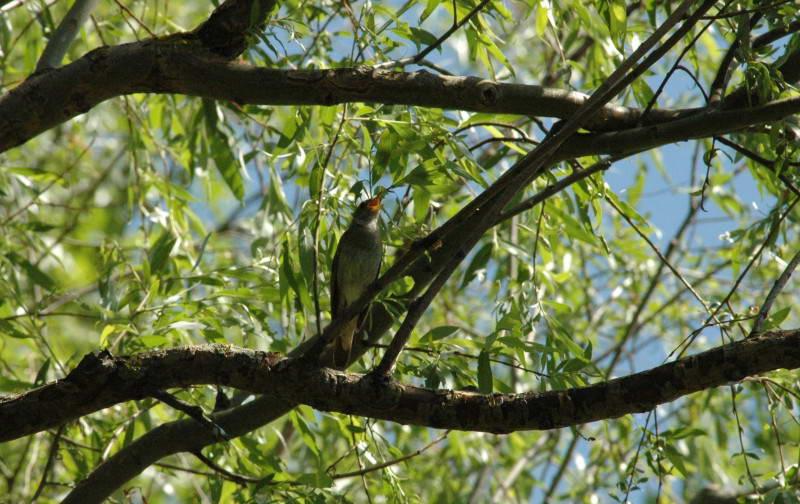 Nightingale, Luscinia luscinia