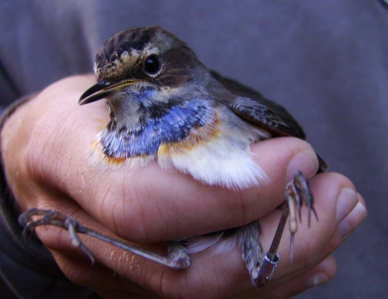 Синьошийка, Luscinia svecica