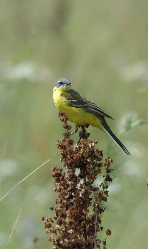 Плиска жовта, Motacilla flava