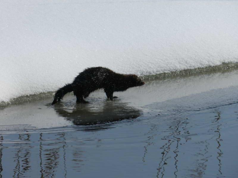 Amerikan mink, Neovison vison
