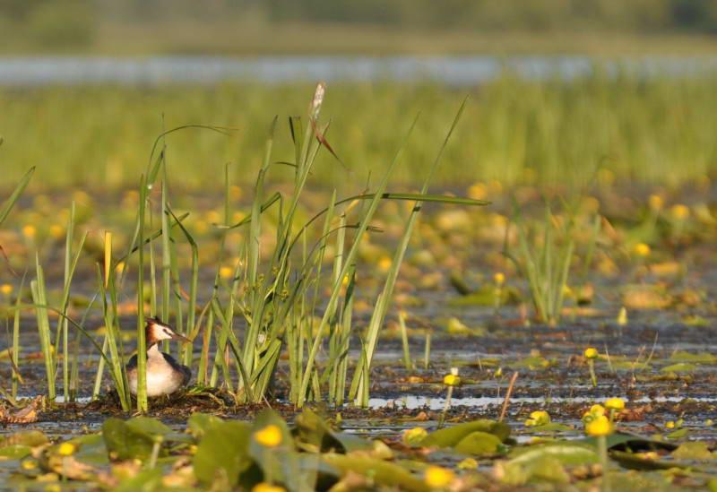 Пірникоза велика, Podiceps cristatus