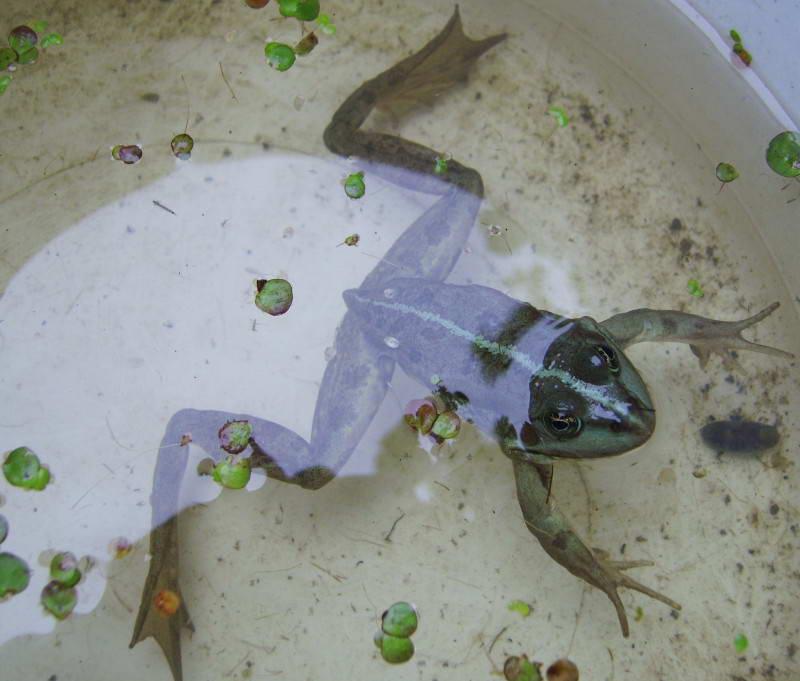 Frog, Rana