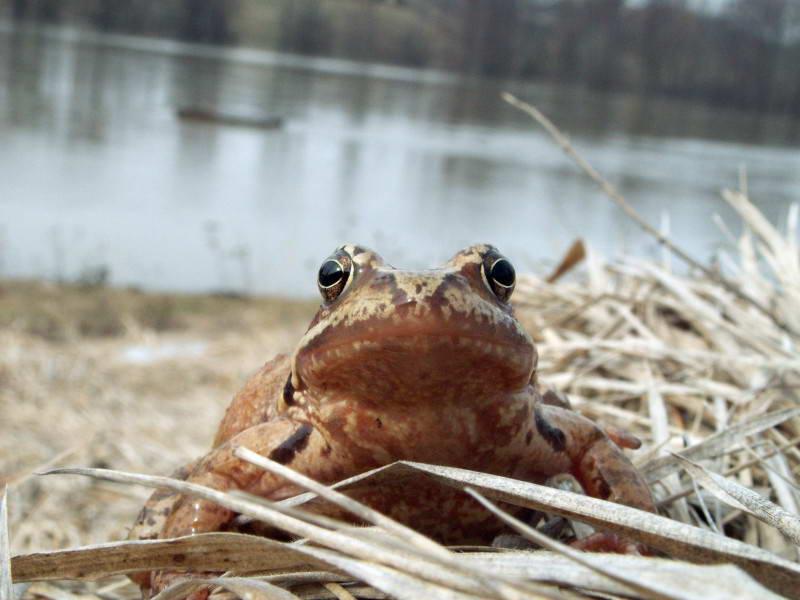 Grass frog, Rana temporaria