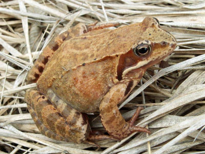 Жаба трав'яна, Rana temporaria