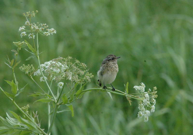 Meadow Gavel, Saxicola rubetra