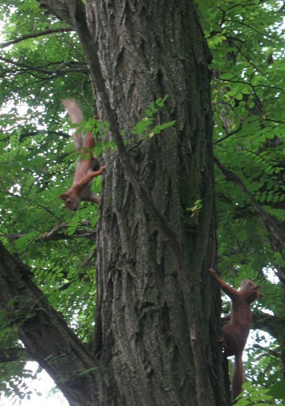 Squirrel, Sciurus vulgaris