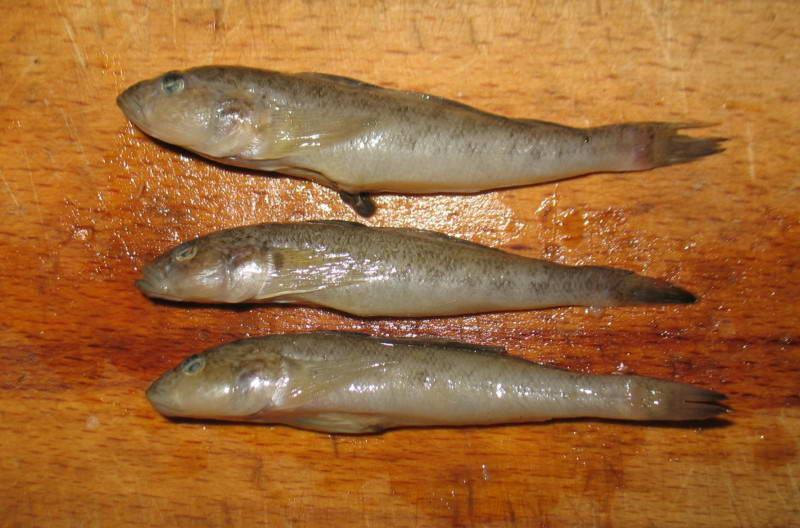Бичок пісочник, Neogobius fluviatilis