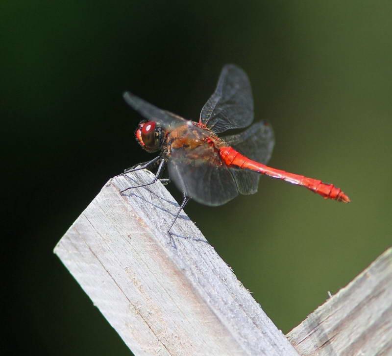 Dragonfly Ruddy darter Sympetrum…