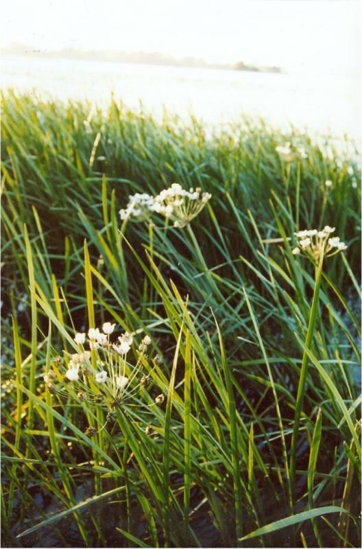 Butomus umbellatus