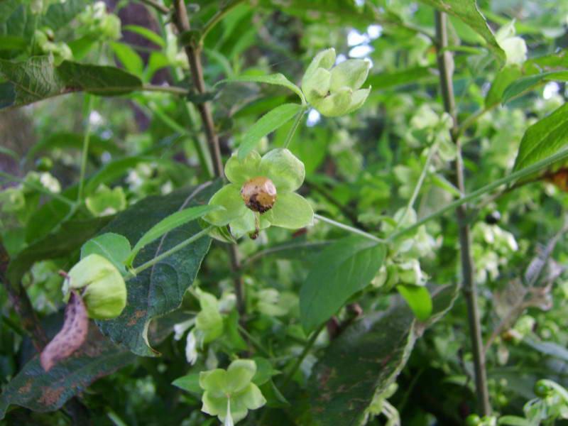 Волдырник ягодный, Cuccubalis baccifer