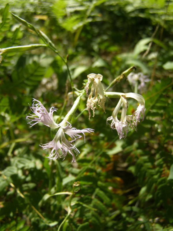 Гвоздика псевдорастопыренная, Dianthus…