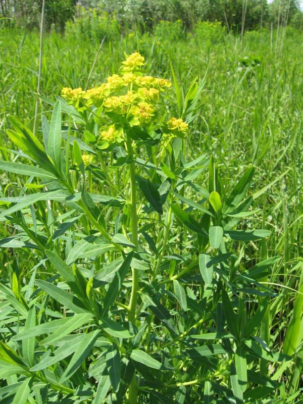 Euphorbia virgultosa