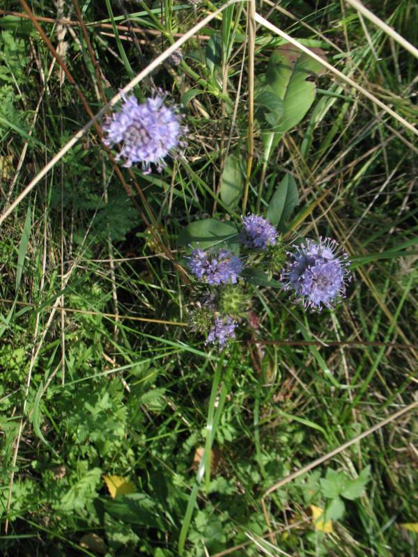 Агалык-трава горная