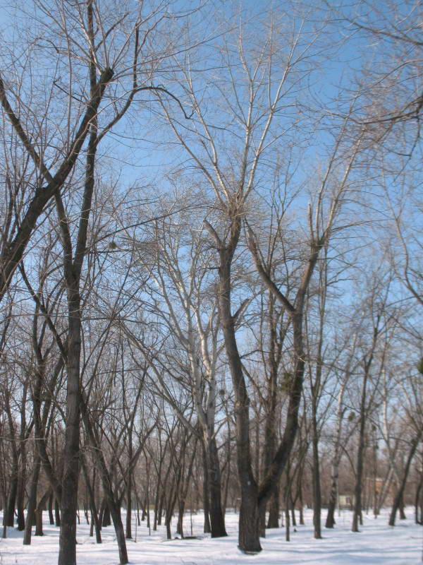 Осокоревое редколесье