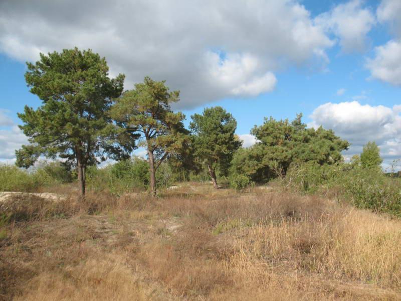 Common Pine, Pinus sylvestris