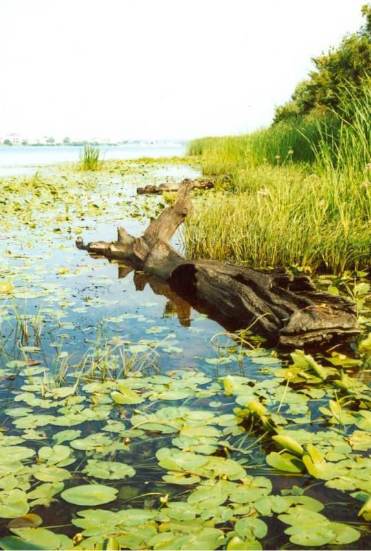 Прибрежно-водная растительность