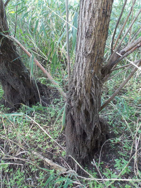 White willow, Salix alba