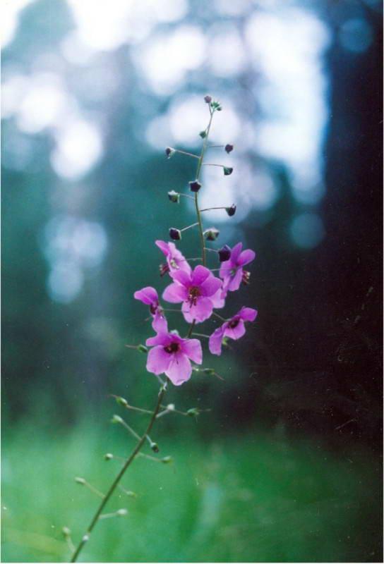 Коровяк фиолетовый