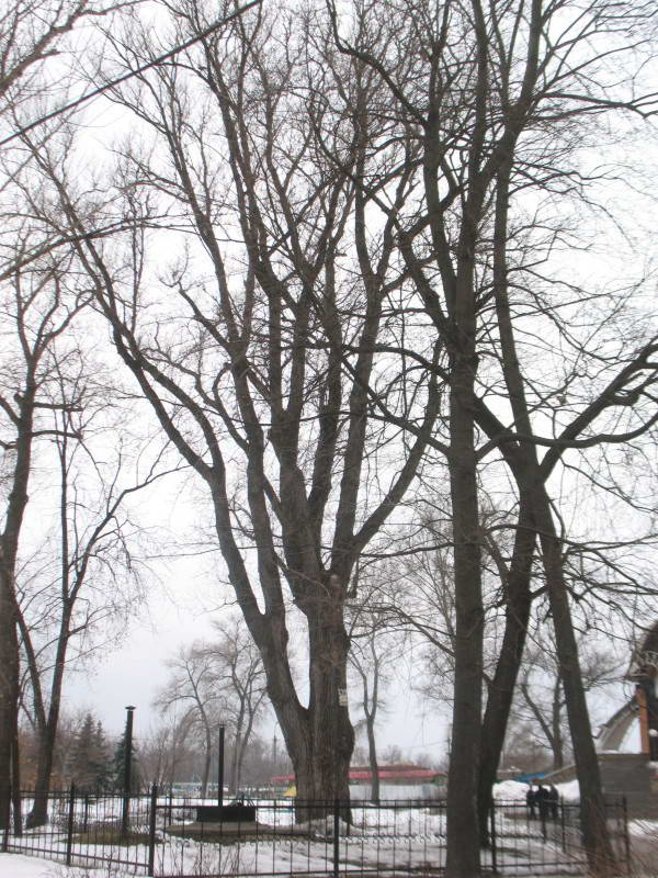 Secular black poplar Populus nigra